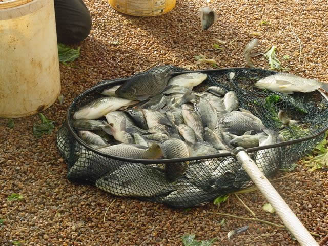 Aquaponics In Africa The Fish Buy The Diy Aquaponics Manual By
